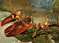 Picture of a Spiny Crayfish