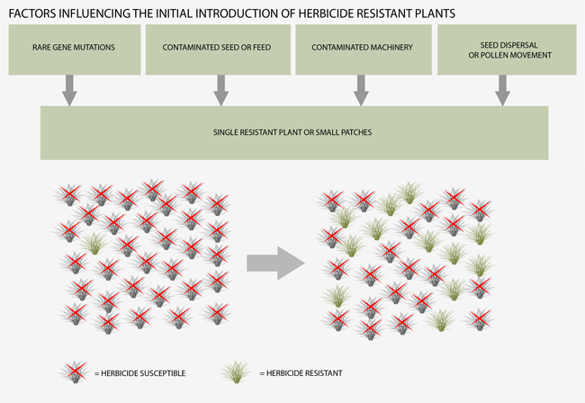 Figure 2. Herbicide-resistant plants can rapidly build up in a plant population.