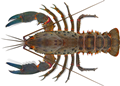 Spiny Crayfish