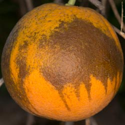 A photo of a citrus fruit with tear staining