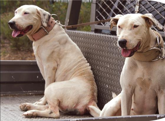 Two white pig dogs are restrained on the back of a ute.