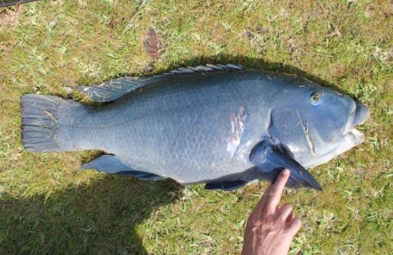Blue groper seized from the south coast