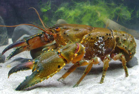 Fitzroy falls spiny crayfish. Photo: Rob McCormack