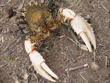 Murray Crayfish - Euastacus armatus
