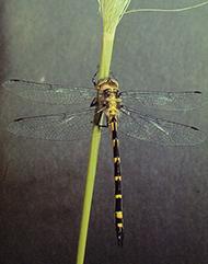 Sydney hawk dragonfly