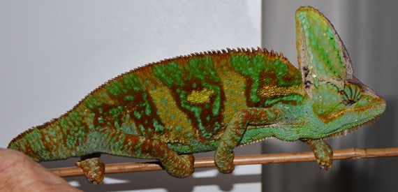 Side view of a veiled chameleon