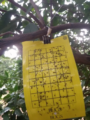 A yellow pheromone trap in a tree