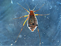 Magnified image of a giant willow aphid showing several rows of black spots marking the abdomen