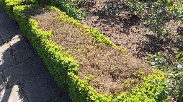 Buxus blight damage of a box hedge. The inside of the hedge has severe defoliation and plant dieback due to Buxus blight infection. The external edges of the hedge have retained their foliage.