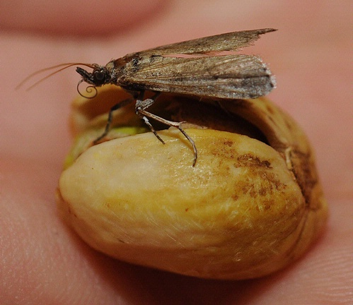 Brown moth sitting on a pistachio