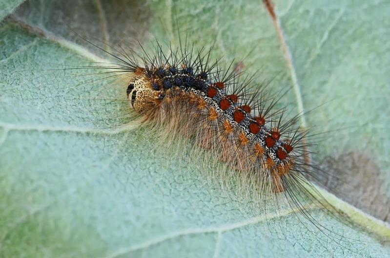 Asian gypsy moth larva on a leaf with long hairs protruding all over the body. The top of the larva shows a double row of colourful dots with 5 pairs of blue followed by 6 pairs of red.