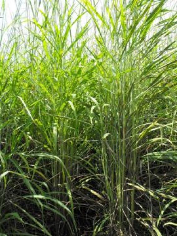 Gamba grass
