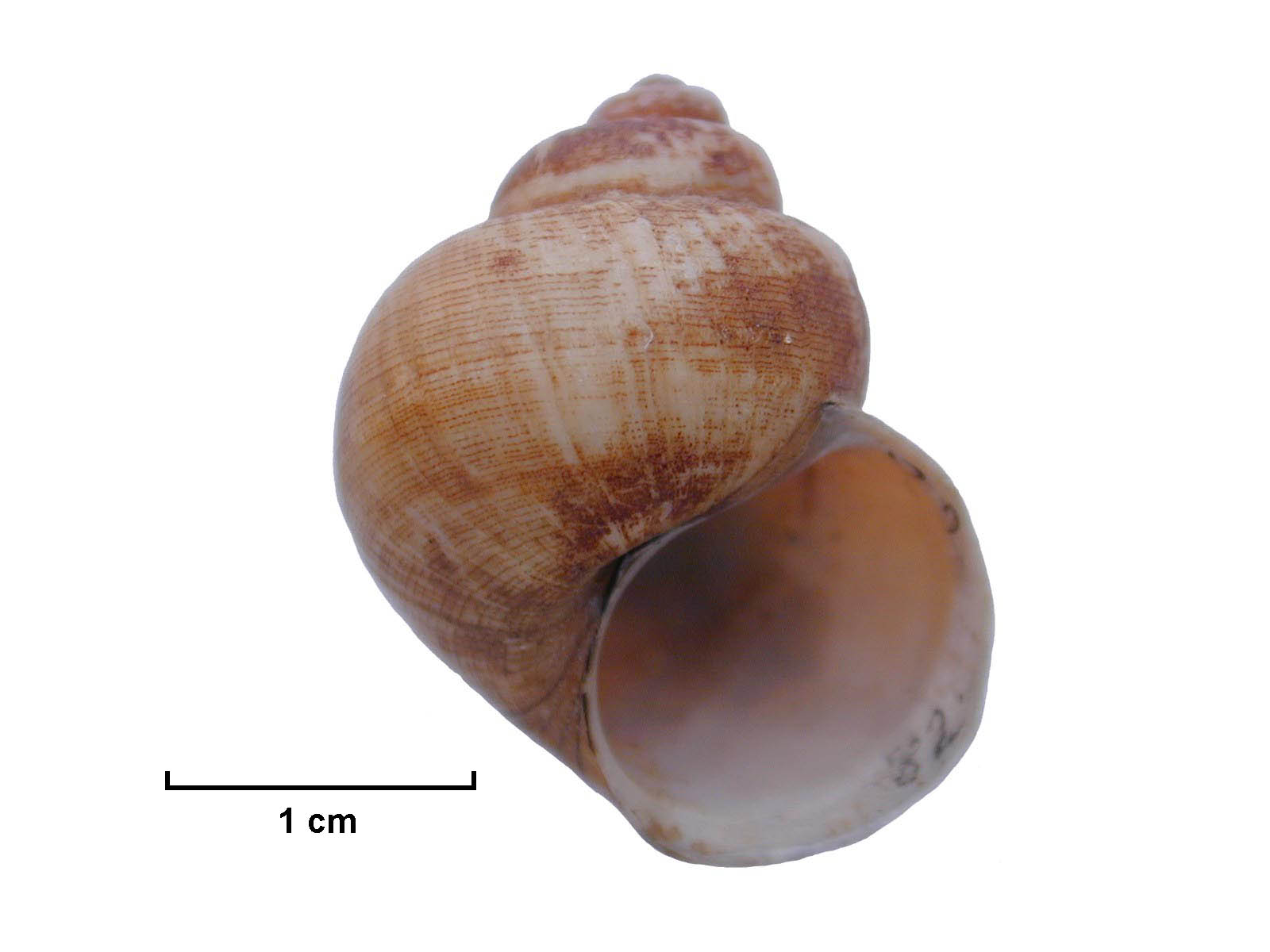 Side photo of Notopala sublineata (Darling River Snail)