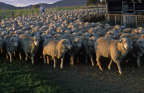 A flock of sheep stand near a shearing shed