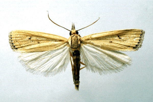 Yellow top borer moth with yellow-brown body and wings extended