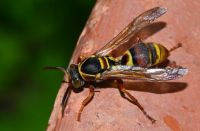 Brown wasp with yellow markings on a brown branch