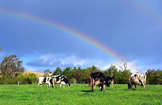 dairy cows in a field with a rainbow in the sky