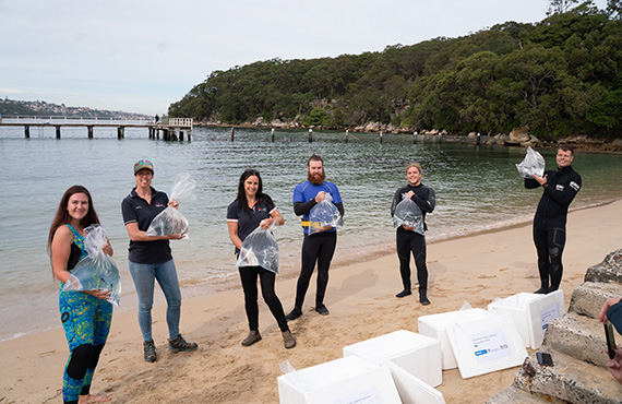 DPI Fisheries, SEA LIFE Sydney Aquarium staff and University of Technology Sydney students holding plastic bags with juvenile White's seahorse in them ready to release into Sydney Harbour