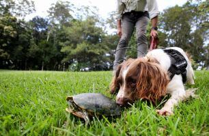 dog with handler tracking down a red-eared slider turtle in grass area