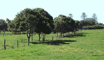 Figure 2. Kikuyu pastures and shade trees at Wollongbar Agricultural Institute