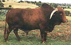 Africander bull