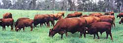 Belmont Red cows