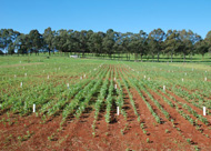 NSW DPI is running the world's largest demonstration of biochar, with over 150 field plots under management.