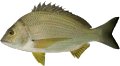 Yellowfin Bream