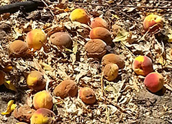 Fallen peach fruit decomposing on orchard floor