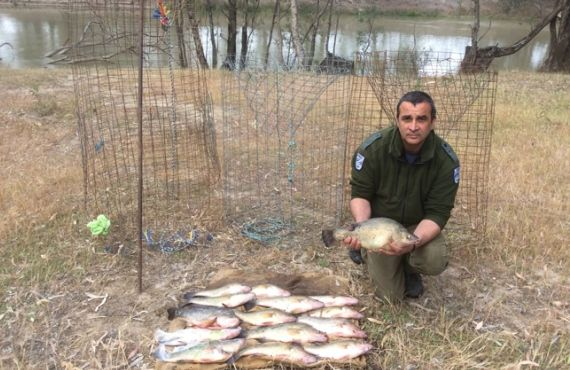 Golden perch and fish traps seized from Murrumbidgee River
