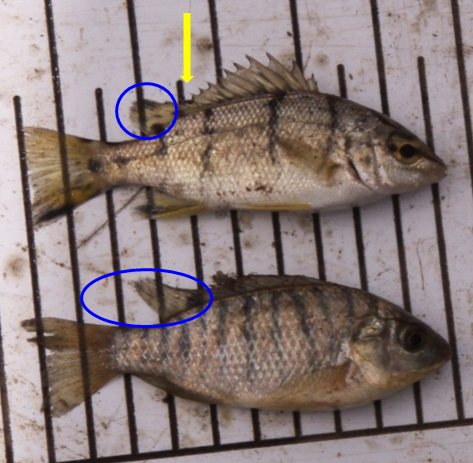 Juvenile Banded Grunter Top And Mozambique Tilapia Bottom Photo Qld Daf