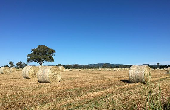 Photo of round hay bales with blue sky and tree on left side in the background (Photo: Mel Case)