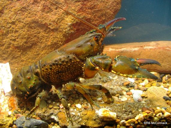 A colourful Fitzroy Falls Spiny Crayfish