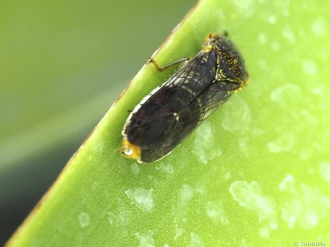 Glassy winger sharpshooter on a leaf covered with 'leafhopper rain'. The leaf hopper rain is apparent as dried water droplet stains that leave behind a white residue on the surface of the leaf.