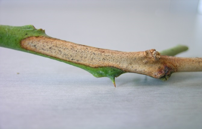 Citrus stem that has browned with fungal fruiting bodies