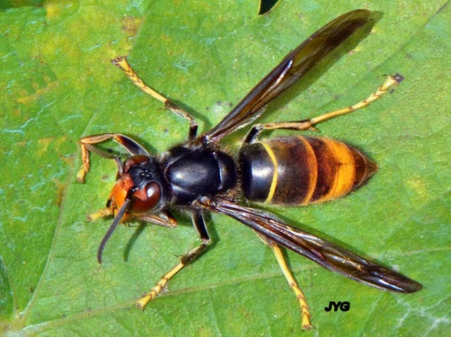 Asian hornet on a leaf, overhead shot of the hornet with a fine yellow band on its abdomen