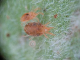 Tomato red spider mite among leaf hairs