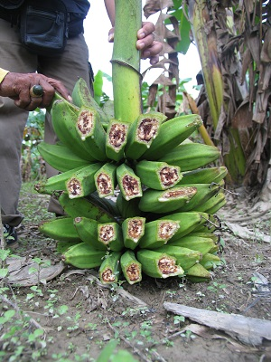 Red-brown discolouration of the fruit pulp of banana fingers infected with blood disease