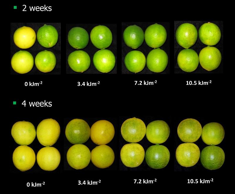 Figure 3. Effect of different treatment intensities of ultraviolet light on lime peel colour after 2 weeks (top) and 4 weeks (lower) storage at 20oC.