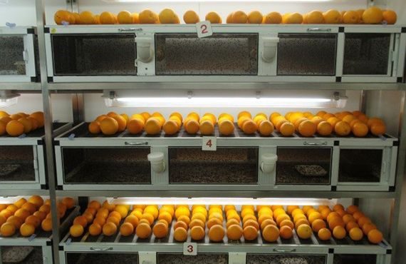 Oranges infested by Queensland fruit fly