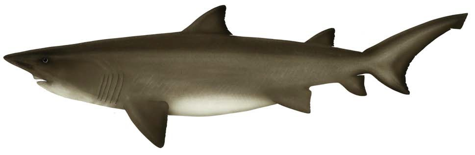 Herbsts Nurse Shark