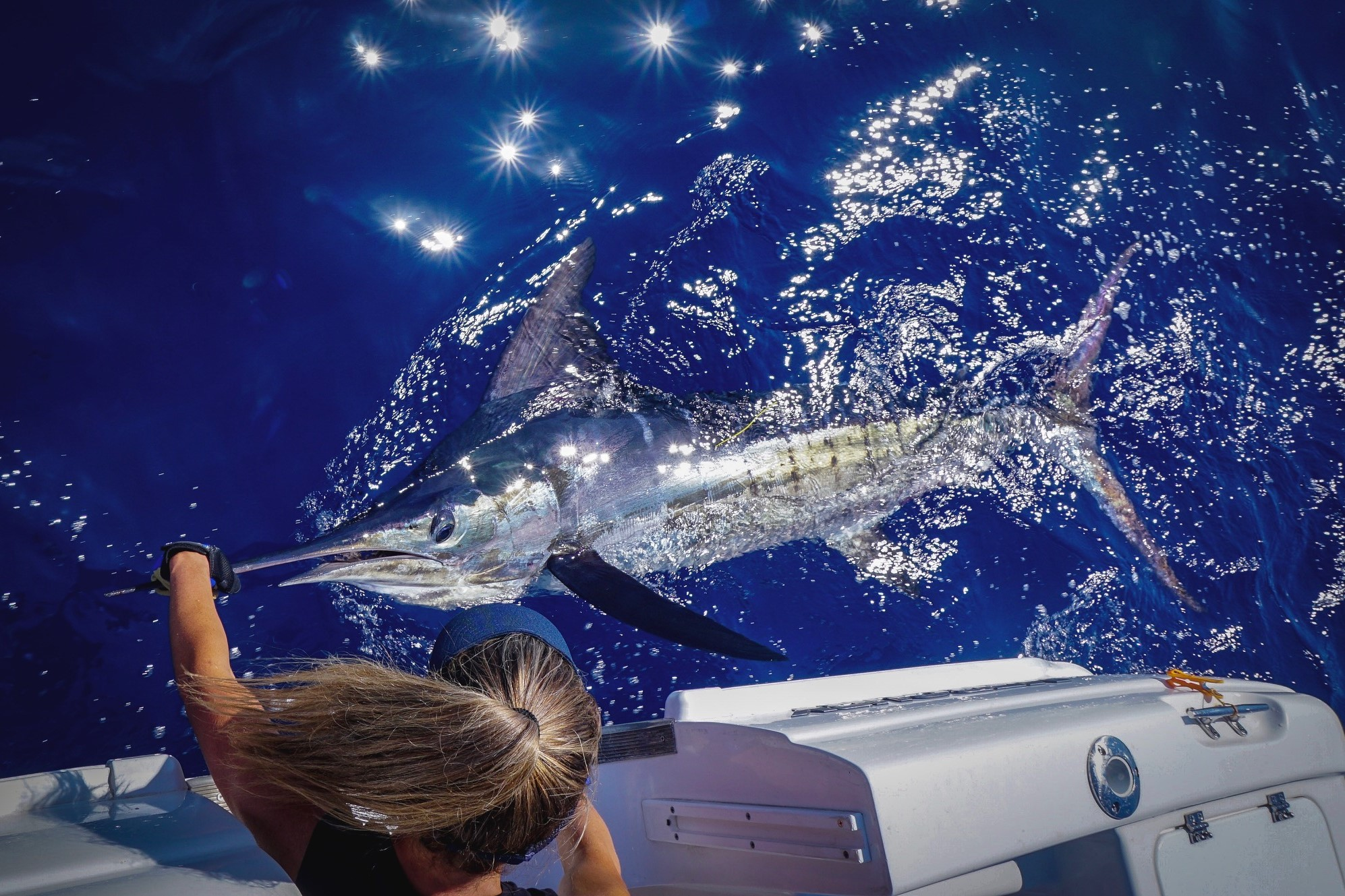 Striped Marlin boat side after tagging