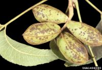 Light green pecan pods with mottled brown markings extending from the tip to the stem