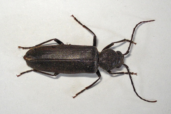 a large black beetle with black legs and black curved antennae