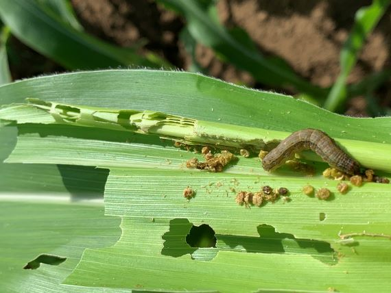 Brownish grey caterpillar eating holes through the leaves of a corn plant