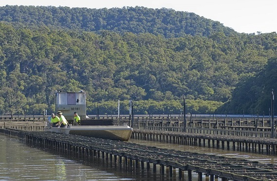 Rows of oyster trays on the Hawkesbury River