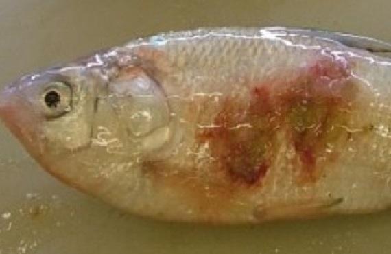 Red spot disease ulcerations on a bony bream