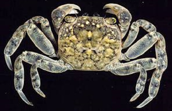 A varied colour crab (purple, yellow, dark grey) on a black background.