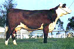 Poll hereford cow