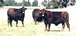 Santa gertrudis cows